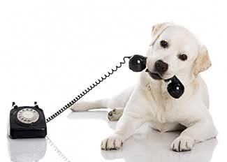 labrador-phone