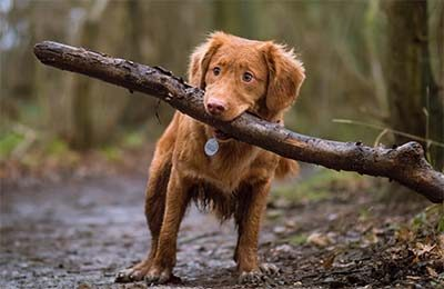 A dog carrying a big stick of wood